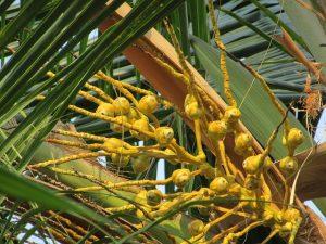 Kókuszvirág cukor